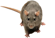 Nassau Suffolk Queens Rodent Removal