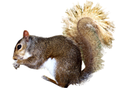 Squirrel Removal NY